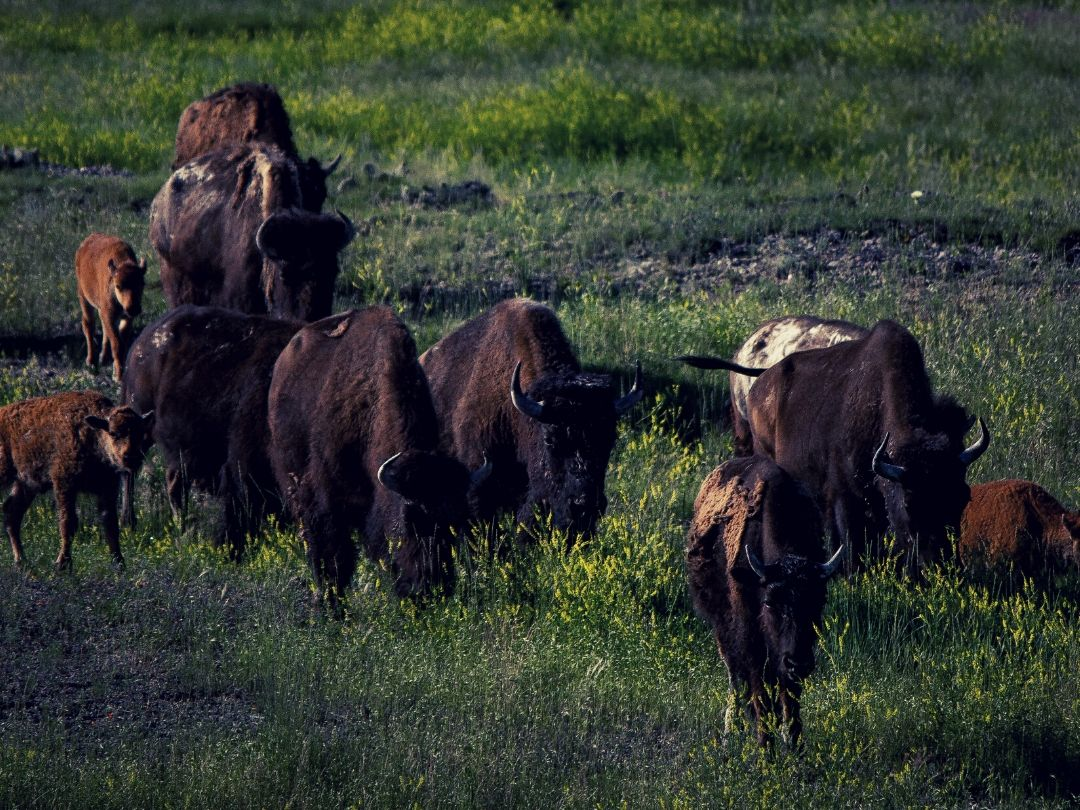 Bison in Badlands of South Dakota