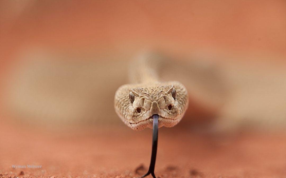 Seeing Eye to Eye with Rattlesnakes