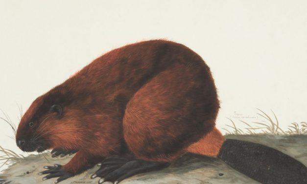 Bob's Beavers