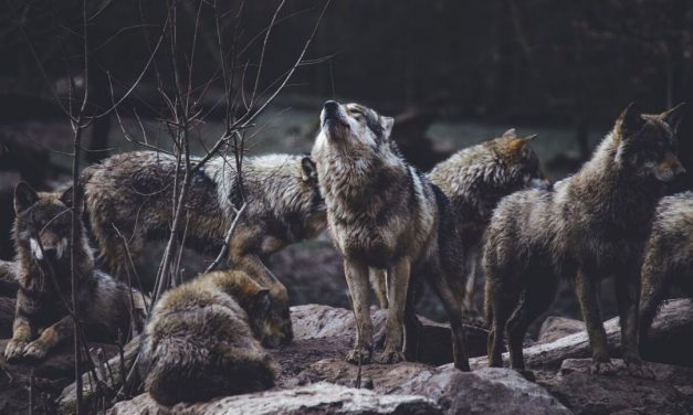 Wolves Among Us