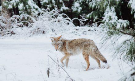 New York City Coyotes