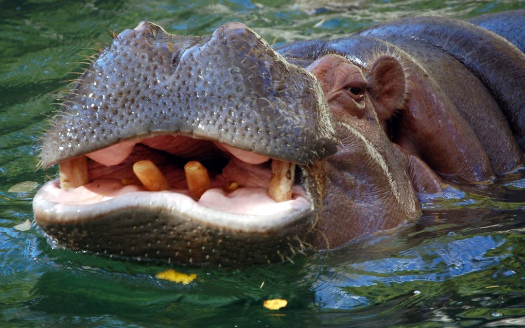A Druglord's Hippo Problem