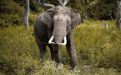 Hunting Asian Tuskers