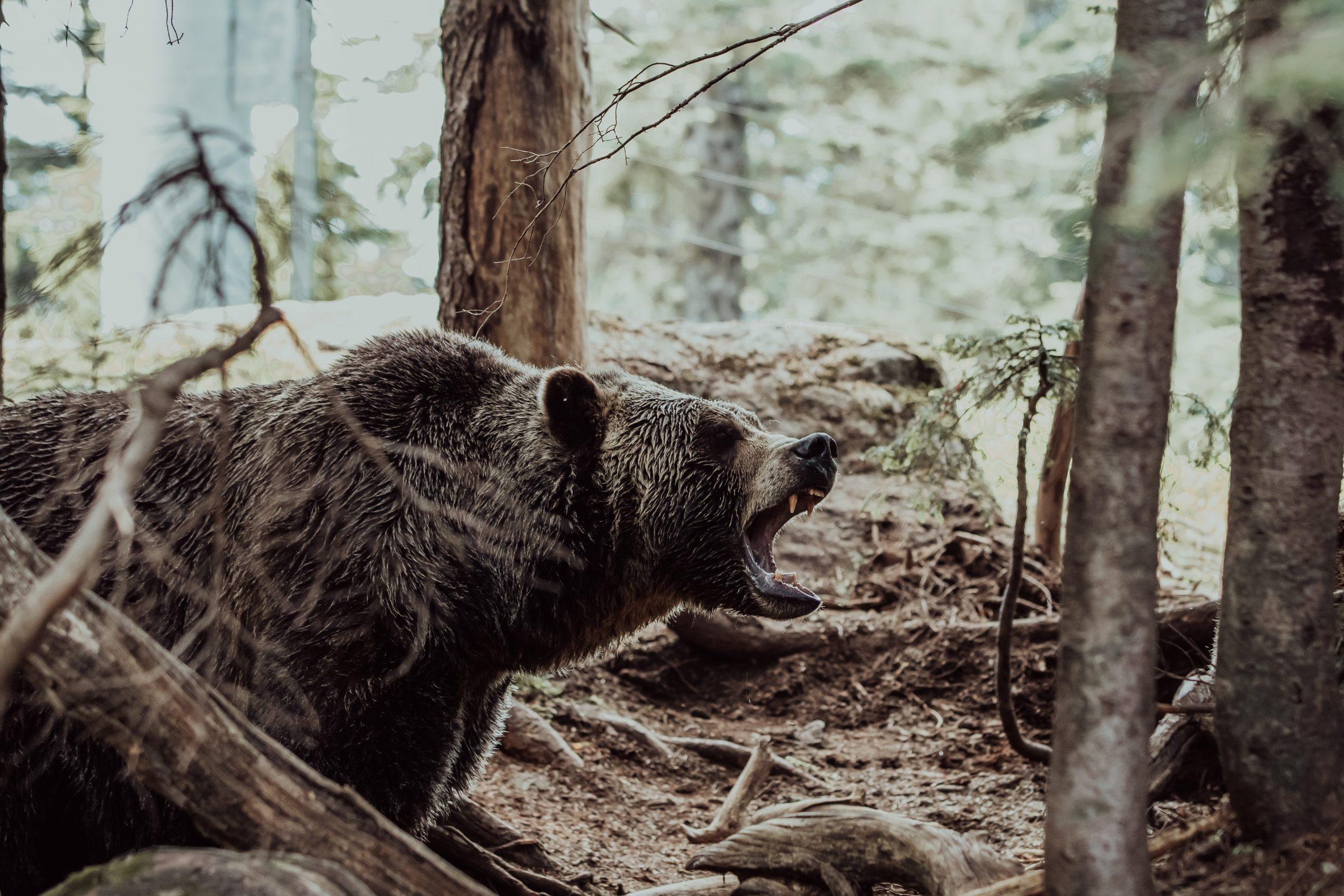 Trad Bow Bear Killer